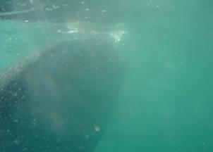Lo squalo balena inghiotte il plancton