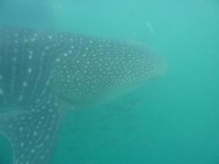 Il manto maculato dello squalo balena