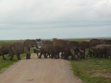 Una mandria di elefanti mi attraversa la strada ad Amboseli