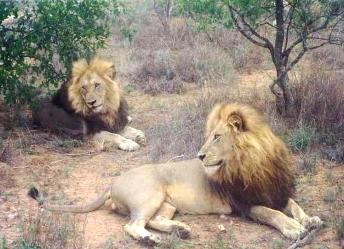 I 2 leoni maschi della riserva Klaserie in Sudafrica