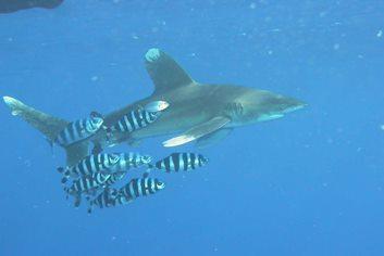 Un carcharinus longimanus nel Mar Rosso