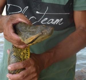 Il capoccione dell'anaconda verde