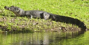 Notevole esemplare di caimano nel Pantanal
