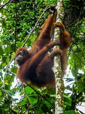 L'orango si aggrappa agli alberi con tutte e 4 le zampe