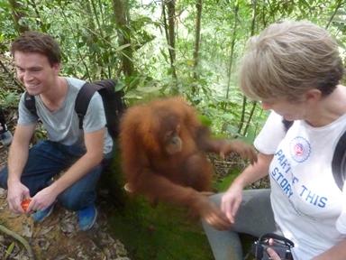 Un giovane orango interagisce con i turisti