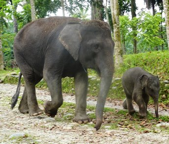 Una femmina di elefante di Sumatra con il suo piccolo