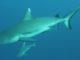 Alle Maldive c'è uno squalo grigio diverso