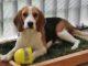 Chicca compie 2 anni: riflessioni sulla convivenza con un beagle